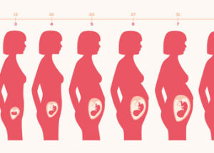 Printable Unborn Baby Growth Charts